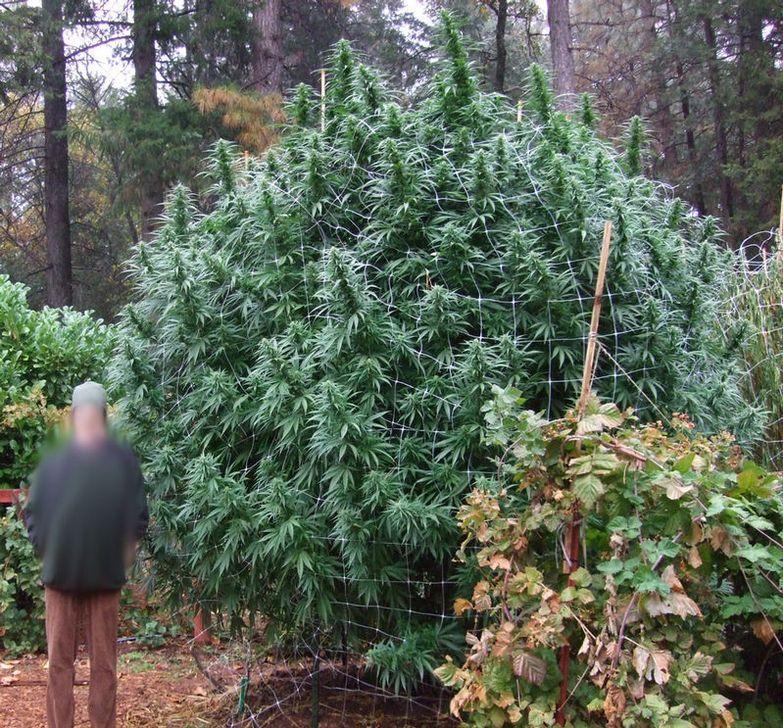 Image d'une Plante de Cannabis en Extérieur