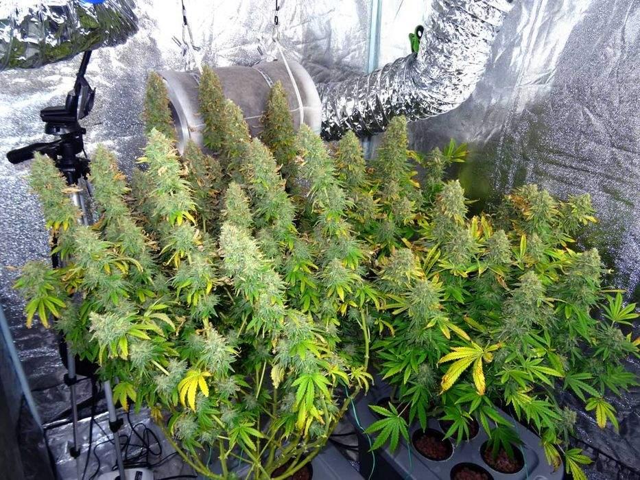 Image de Plantes de Cannabis avec Production Massive de Weed