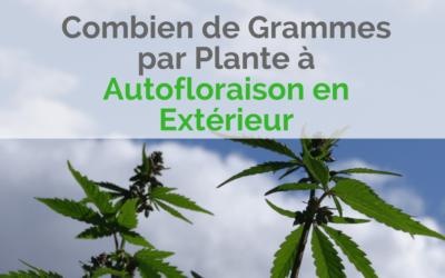 Combien de Grammes par Plante à Autofloraison en Extérieur