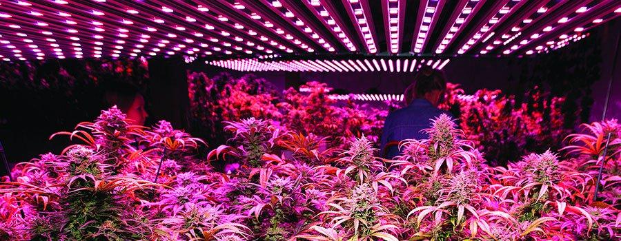 Photo de Lampes LED pour Culture de Cannabis