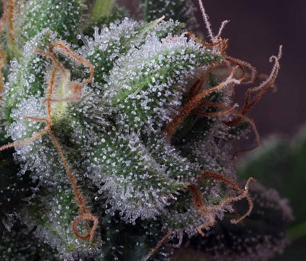 Bud de Cannabis avec Trichômes Transparents et Laiteux