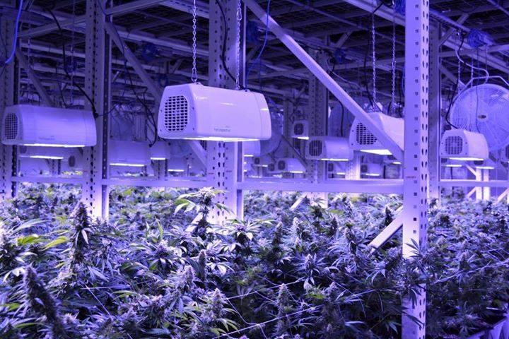 Culture Professionnelle de Cannabis en Intérieur