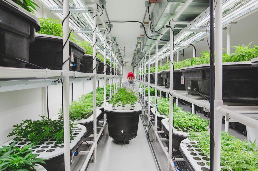 Culture de Cannabis en Hydroponie