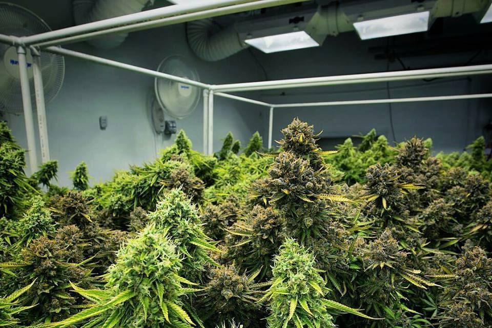 Culture de Cannabis en Intérieur Professionnelle