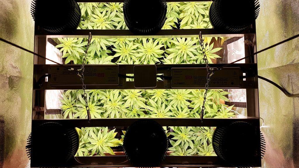Culture de Cannabis en Intérieur vue de haut