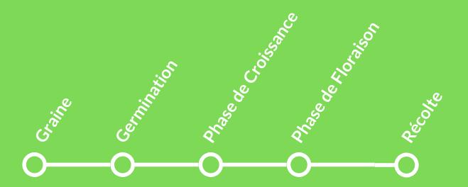 Cycle de Croissance du Cannabis