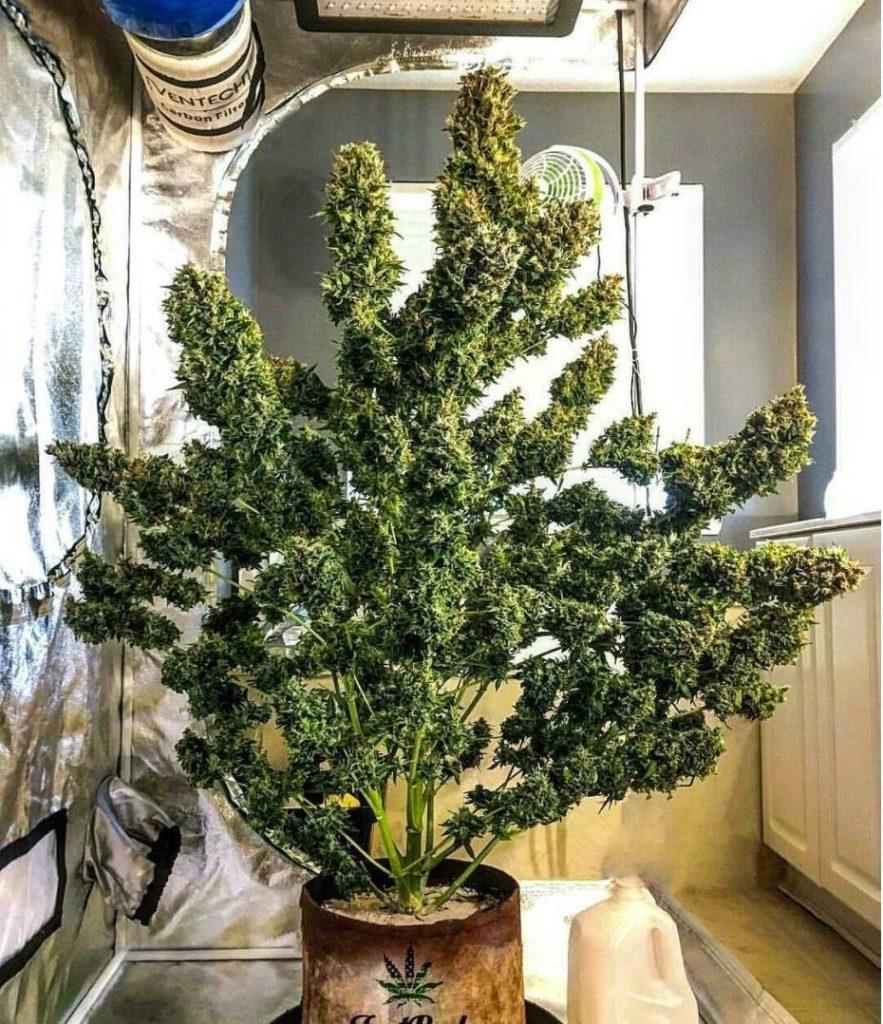 Grosse Plante de Cannabis en Intérieur