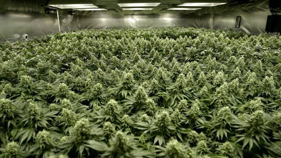 Immense Culture de Cannabis en Intérieur