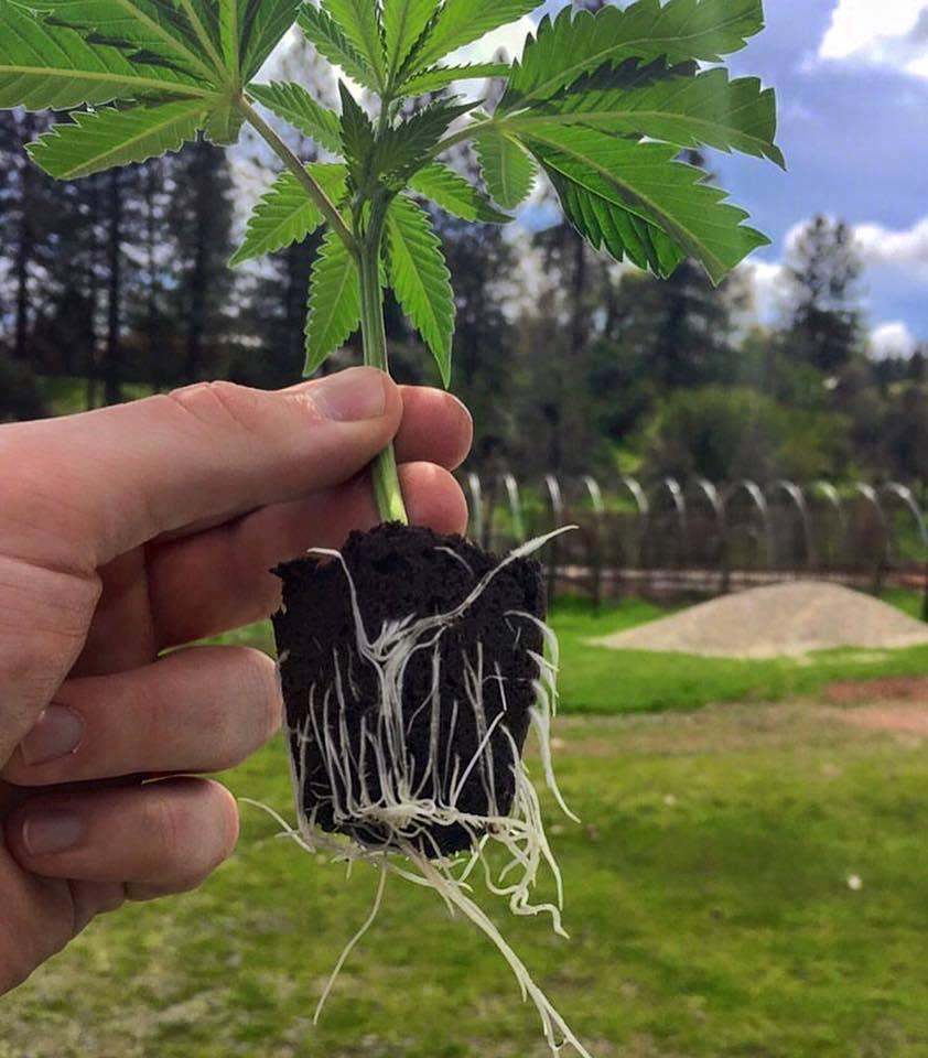 Jeune Plante de Cannabis prête à être rempotée