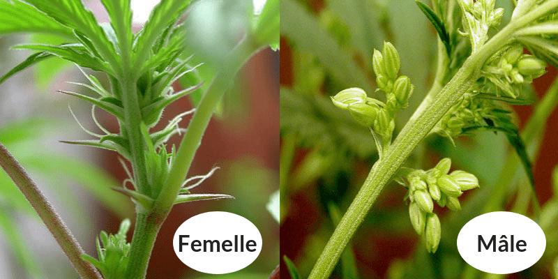 Plantes de Cannabis Femelle et Mâle