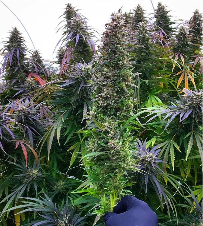 Plantes de Cannabis Sativa