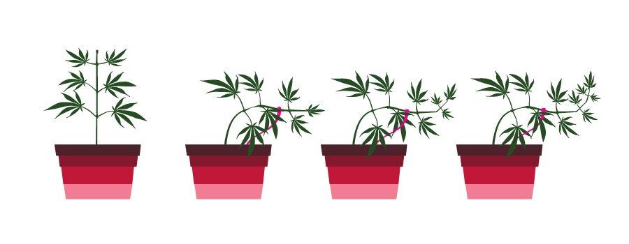 Palissage d'une Plante de Cannabis