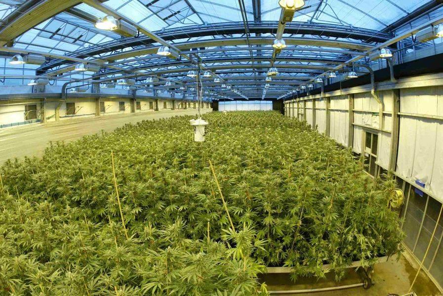 SOG Cannabis - Sea Of Green