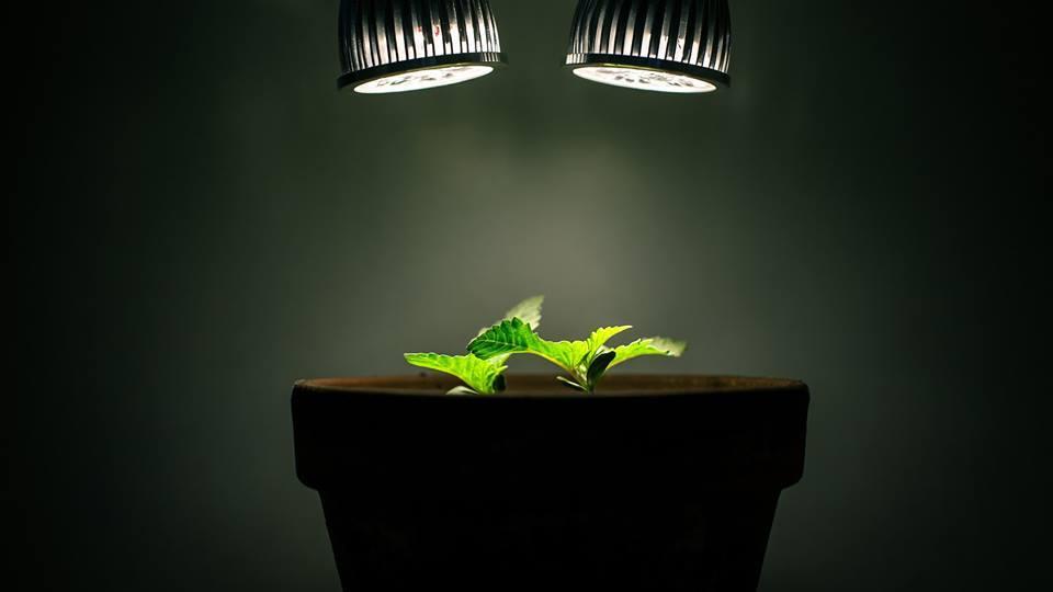 Éclairage Faible pour Culture Indoor de Cannabis