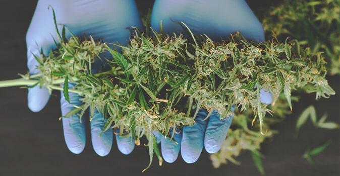 Récolte Plante de Cannabis en Intérieur Sans Lampe