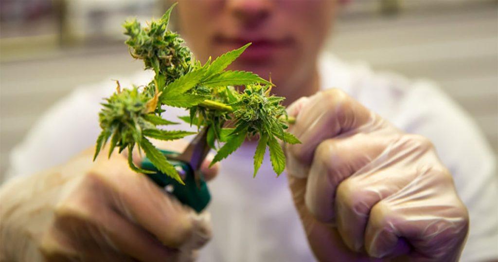 Récolte Riddicule - Cannabis en Intérieur Sans Lampe