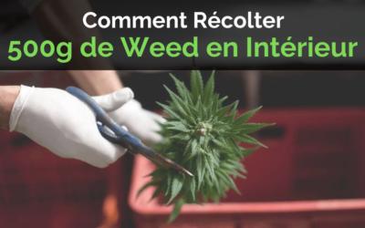 Comment Récolter 500 Grammes de Weed en Intérieur ?