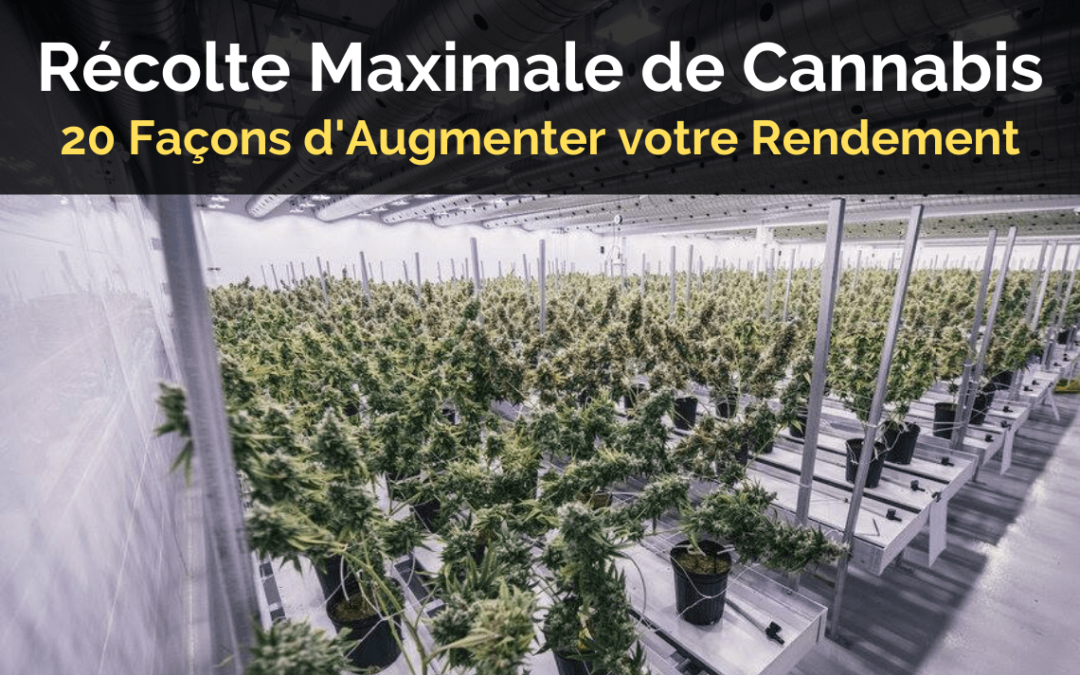 Récolte Maximale de Cannabis - 20 Façons d'Augmenter votre Rendement