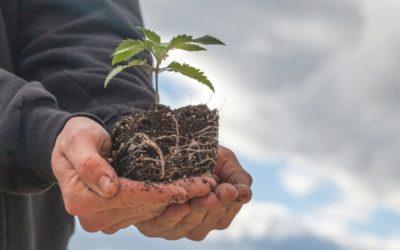 Quand et Comment Rempoter vos Plants de Cannabis