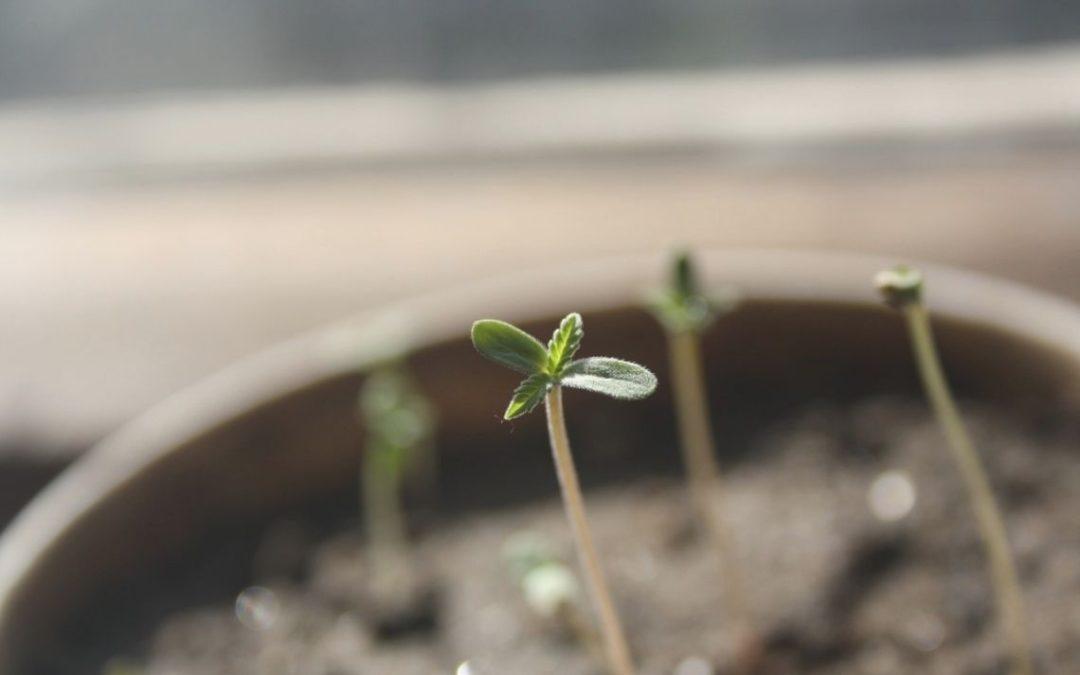 Conditions Climatiques Idéales pour la germination des graines de cannabis