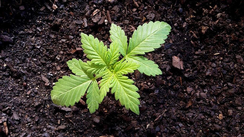 Jeune Plante de Cannabis