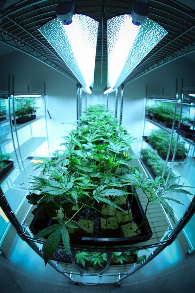Phase de jour de la photopériode du cannabis