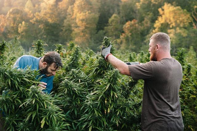 Prendre soin du cannabis