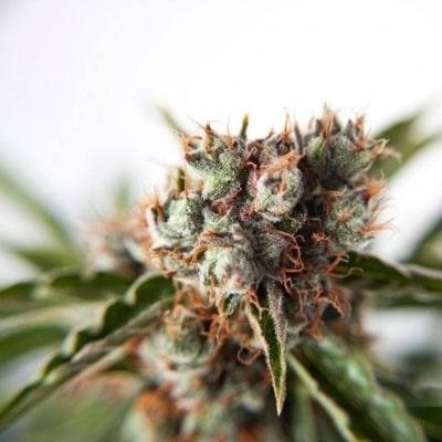 Auto Orange Bud - L'une des meilleures graines autofloraison