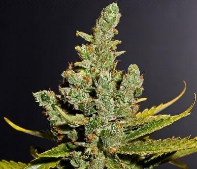 Cheese - Meilleures variétés de cannabis