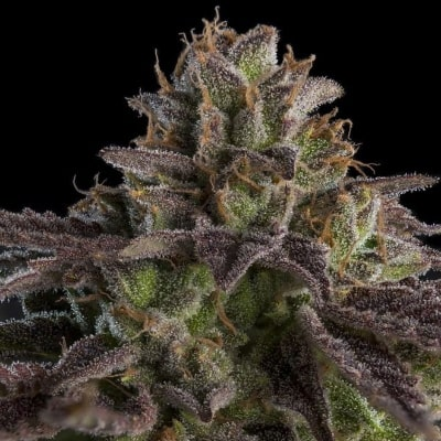 Kmintz - Meilleures variétés de cannabis