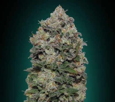 Northern Lights - Meilleures variétés de cannabis