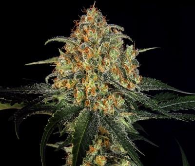 Super Skunk - Meilleures variétés de cannabis
