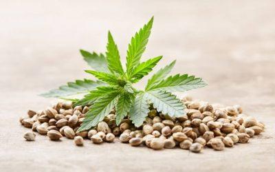 Graines Régulières Et Graines Féminisées Pour Culture de Cannabis