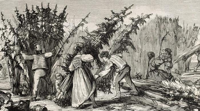Histoire du cannabis - Récolte du chanvre
