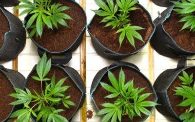 Pots Pour Culture De Cannabis : Le Guide Ultime