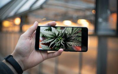 Variétés de cannabis Landrace, Hybrides et Polyhybrides