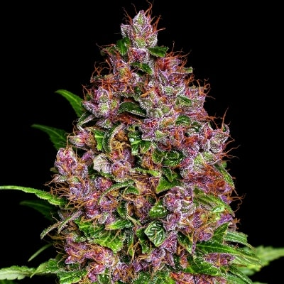Purple Bud Féminisée